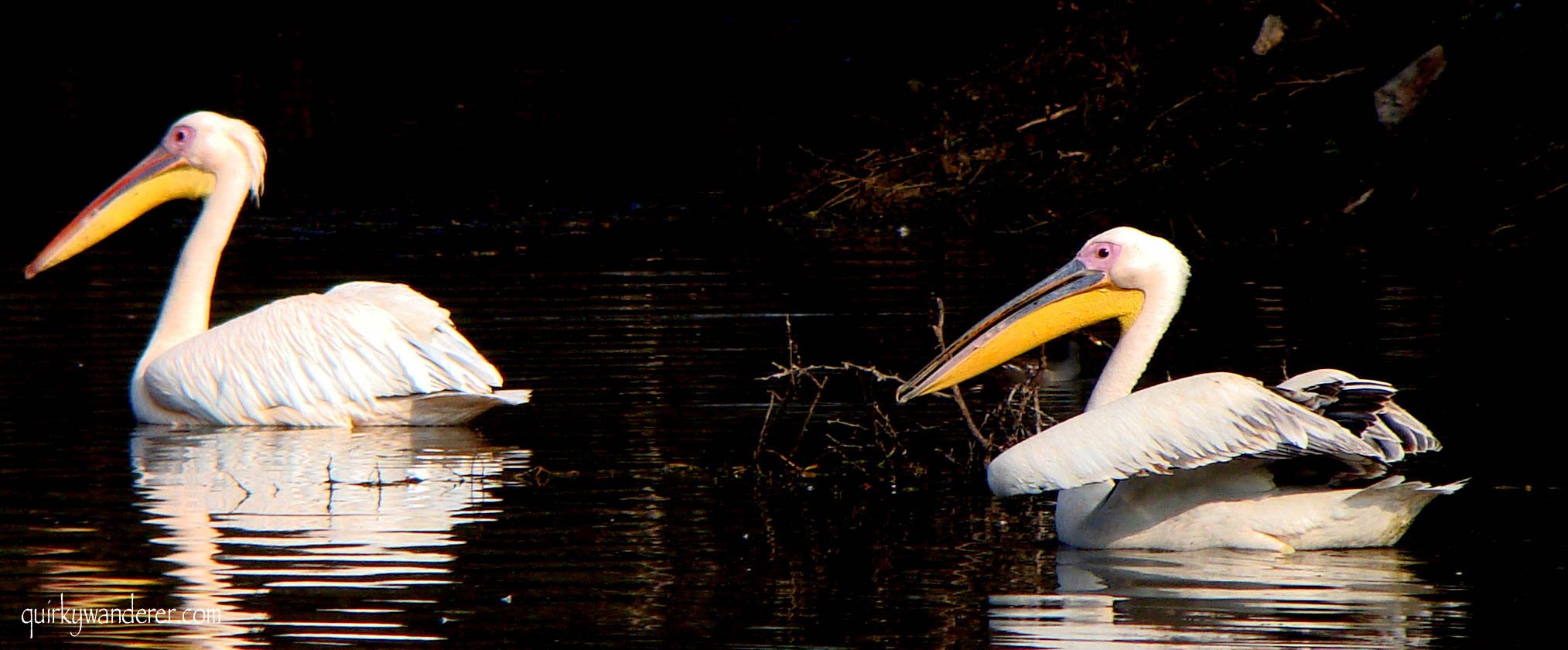 Pelicans at Keoladeo National Park