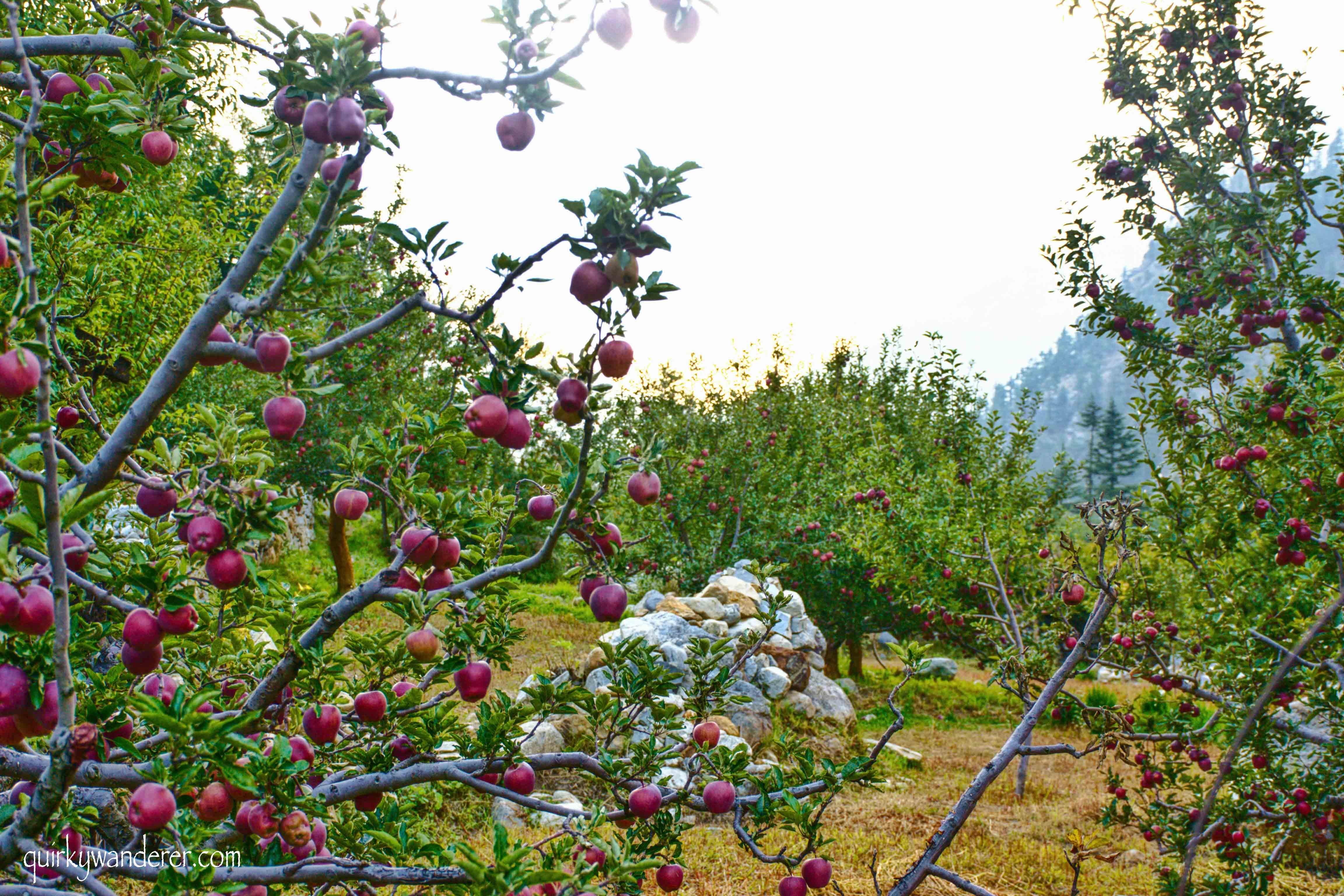 Kinnauri apples in sangla