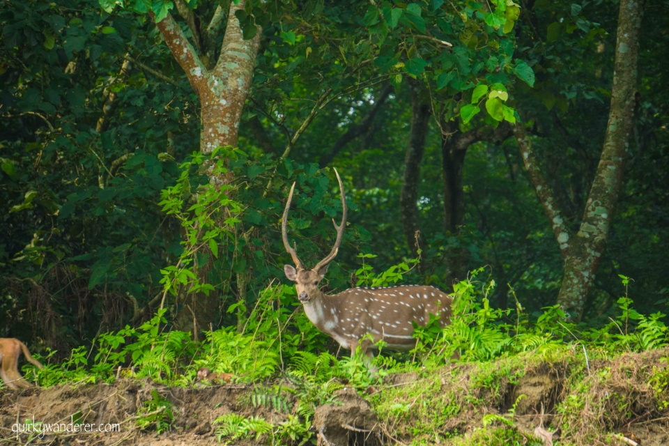 Chitwan national park deer