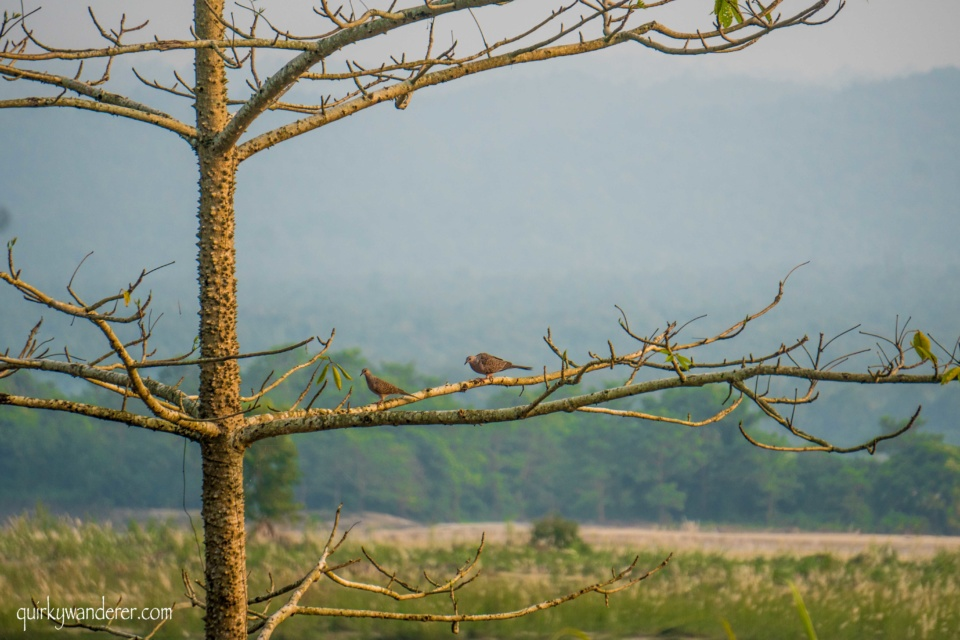 Spotted dove chitwan