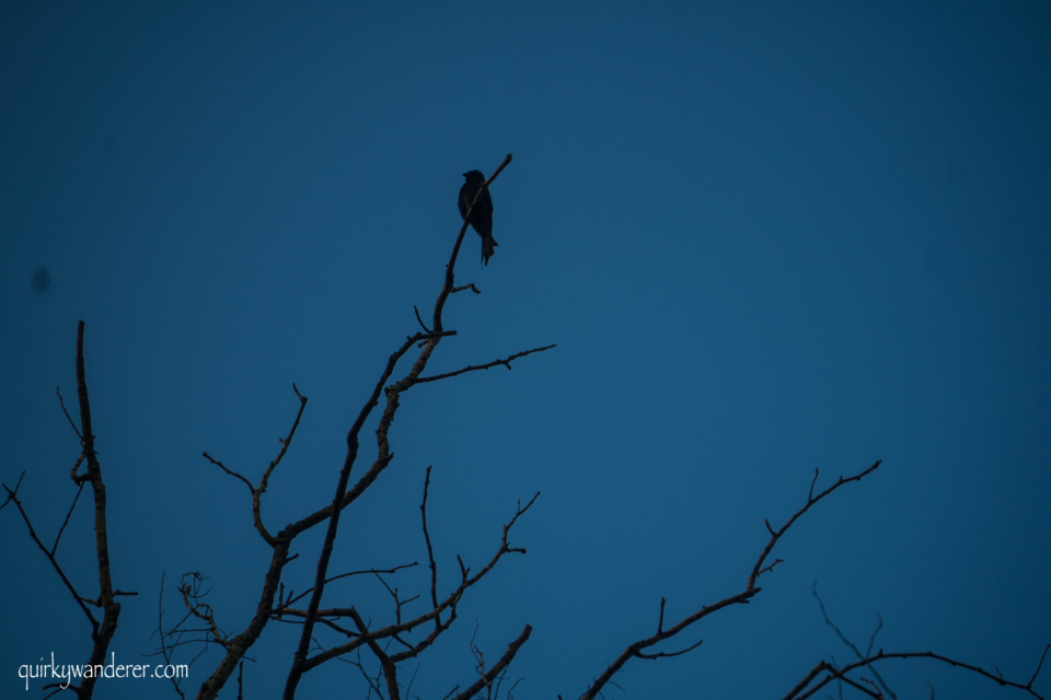 birds of chitwan