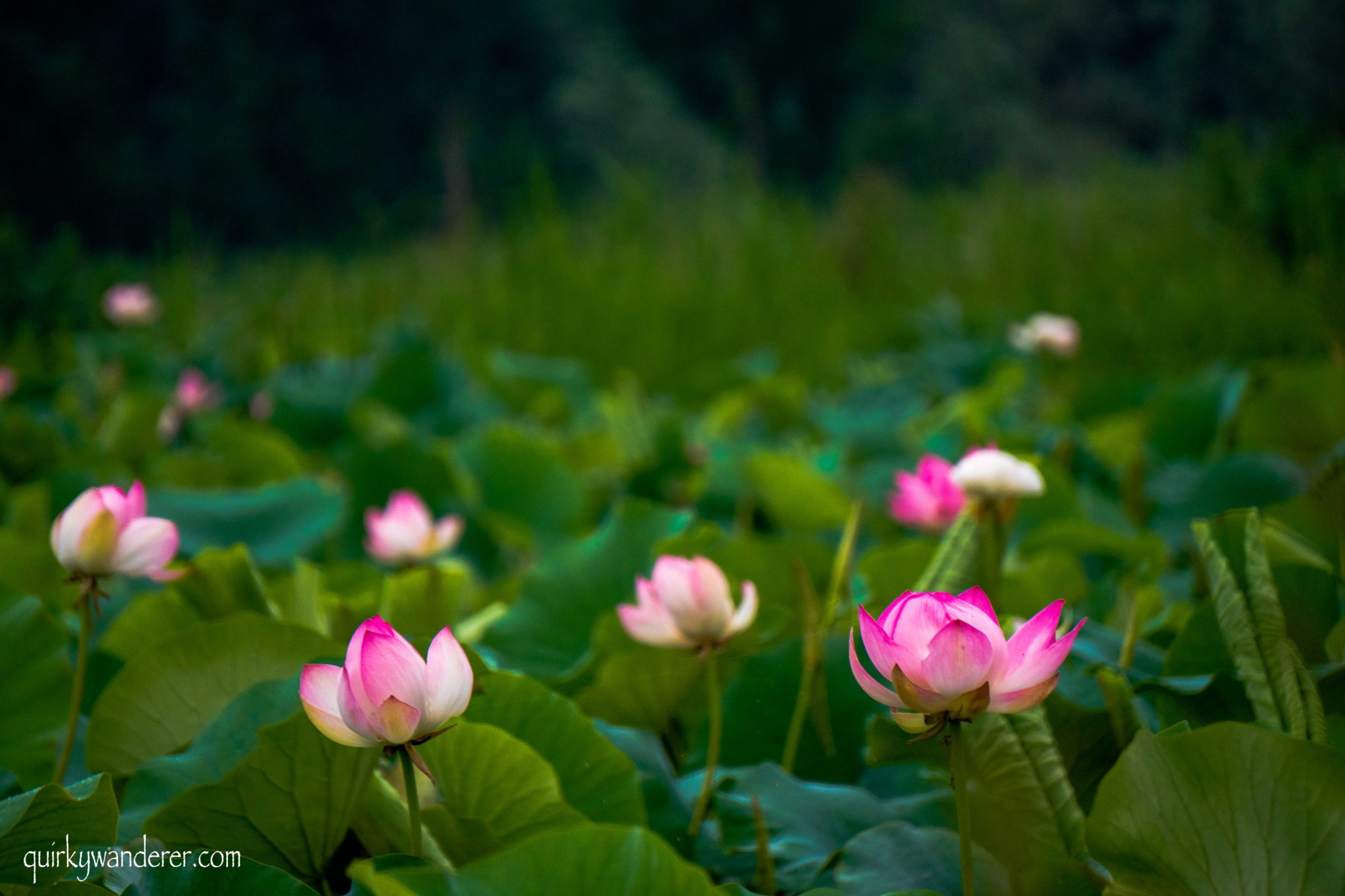 Lotus flowers in srinagar