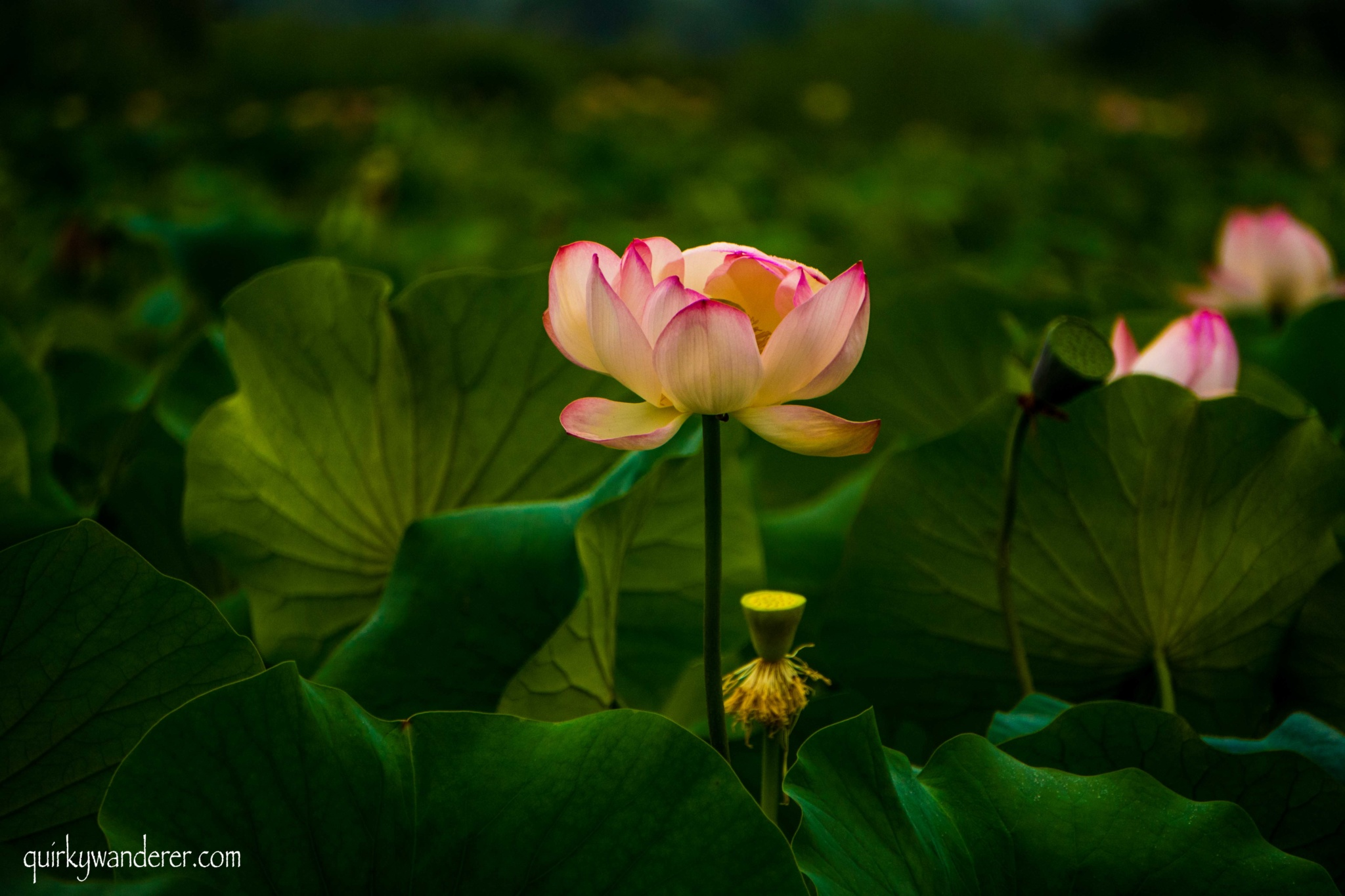 Lotus flowers in Dal lake srinagar