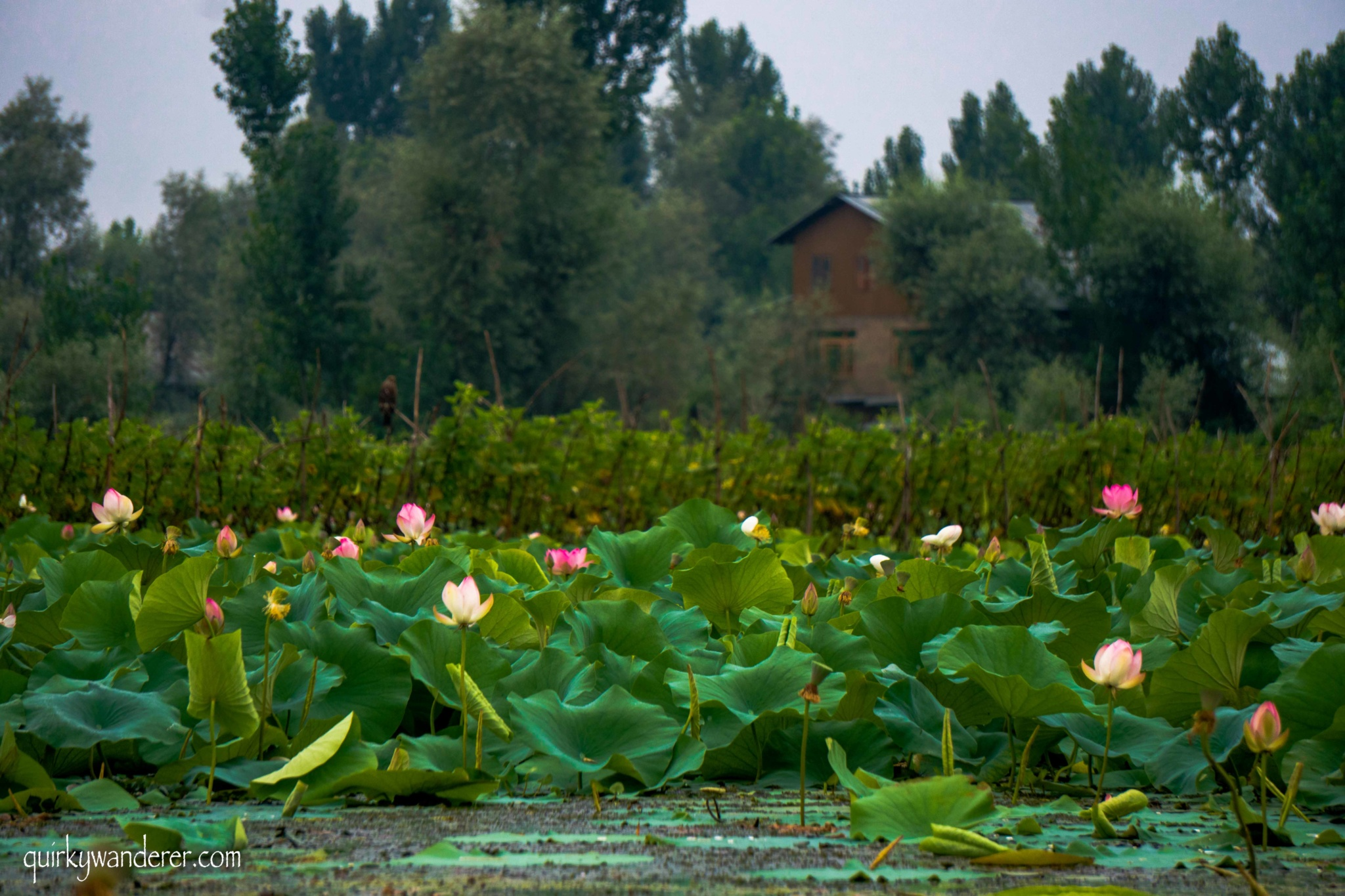 flowers of kashmir