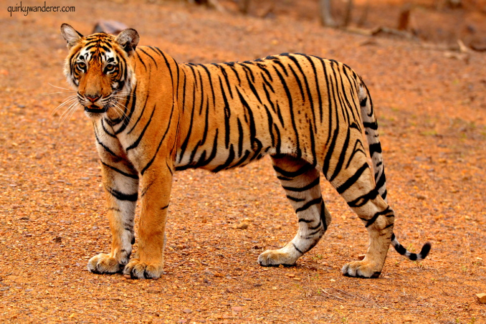 Tiger safaris in India