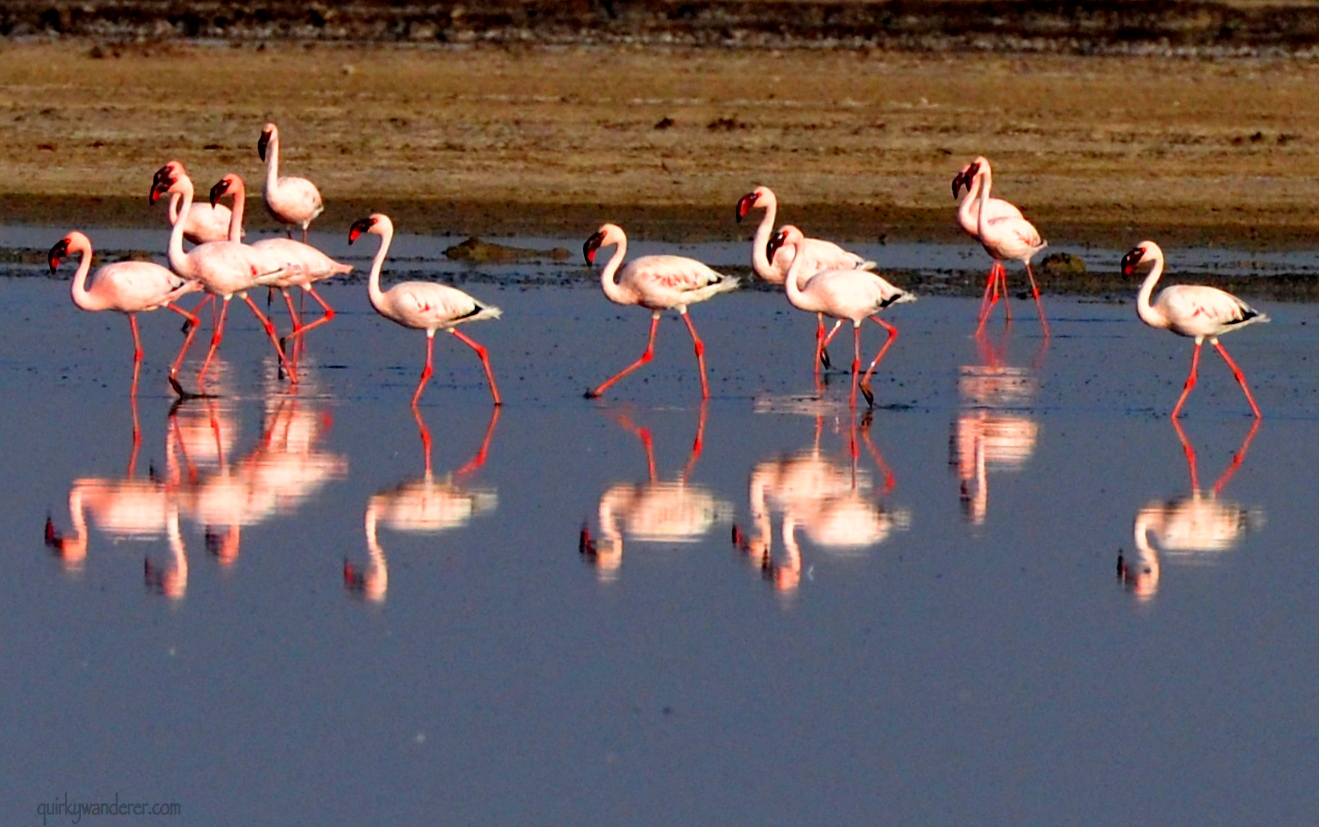 Flamingos in India