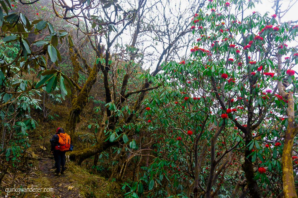 Barsey Rhododendron Sanctuary in West Sikkim is known for its diverse rhododendron forests. A five day trek through it is a must for those who love nature.