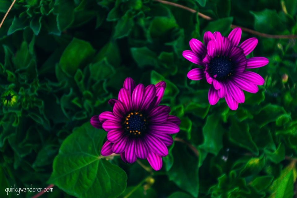 Himalayan flowers Himachal