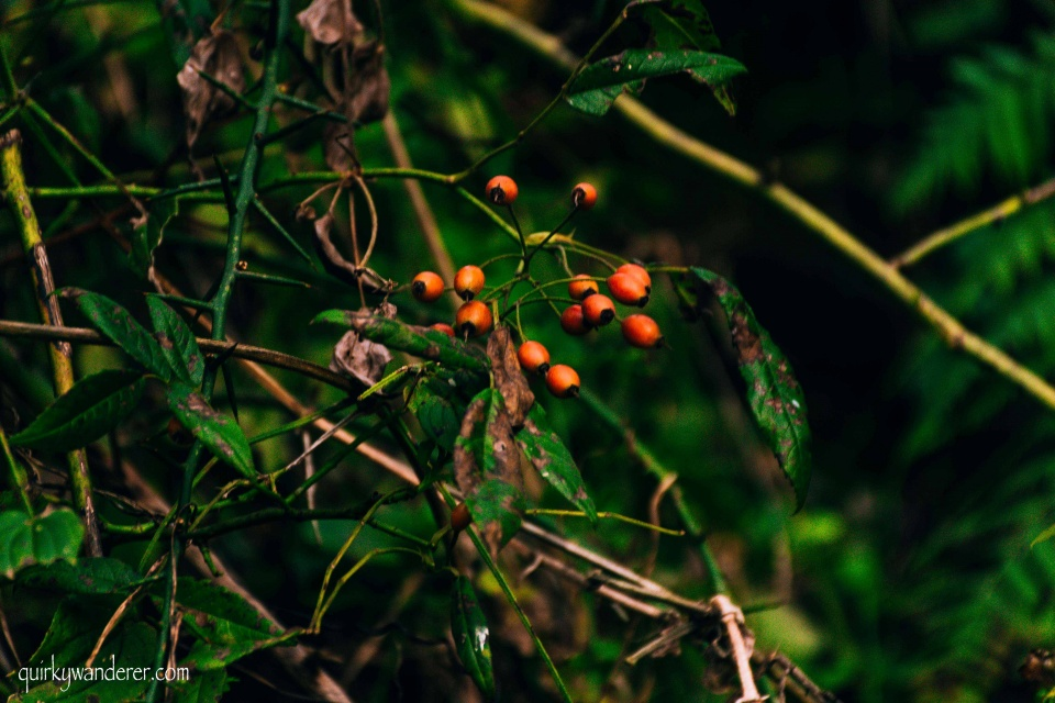 wild berries in Himalayas