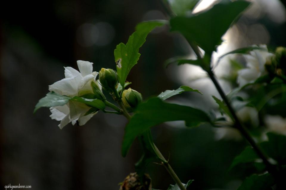 Himalayan flowers Himachal Pradesh